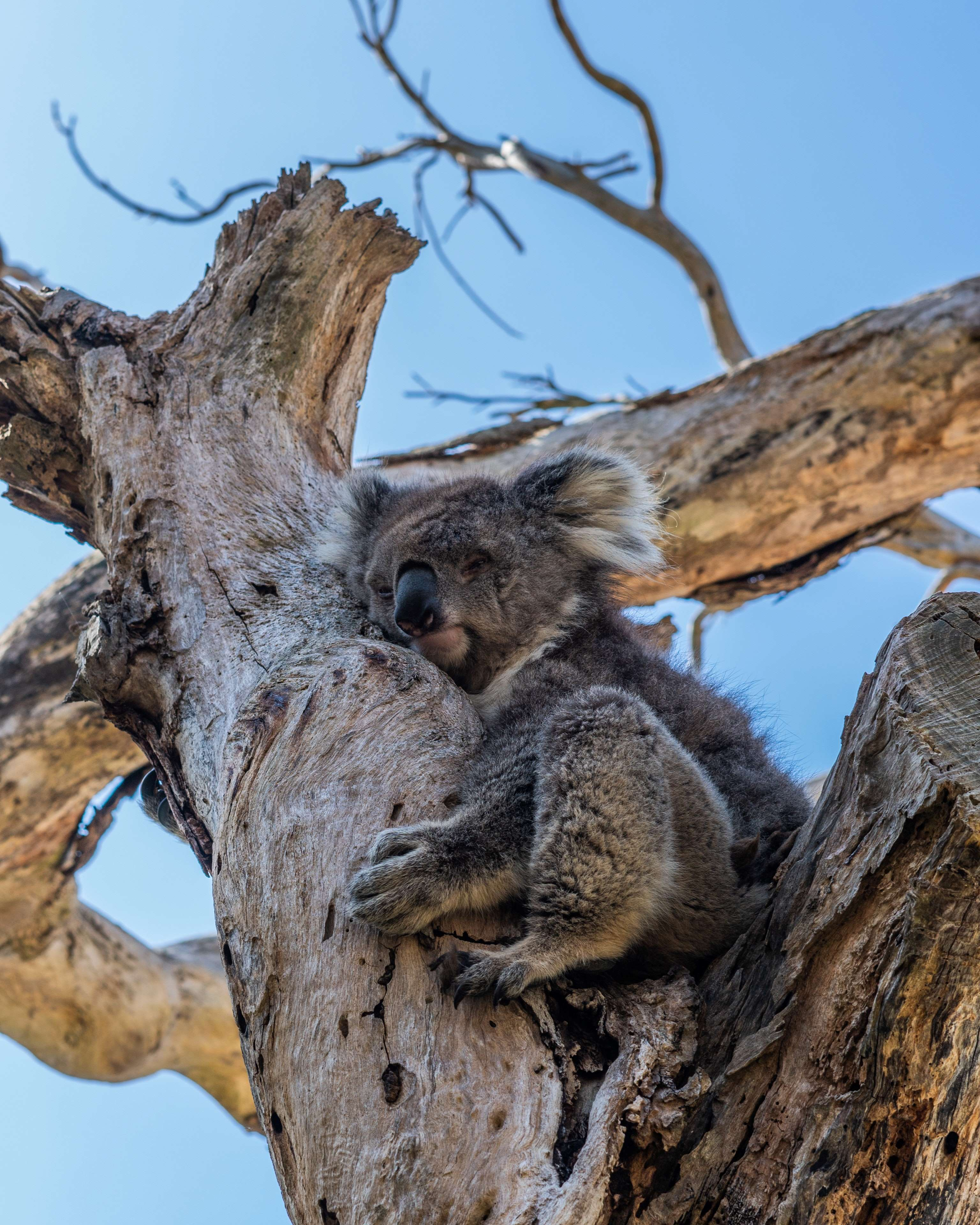Koala in tree