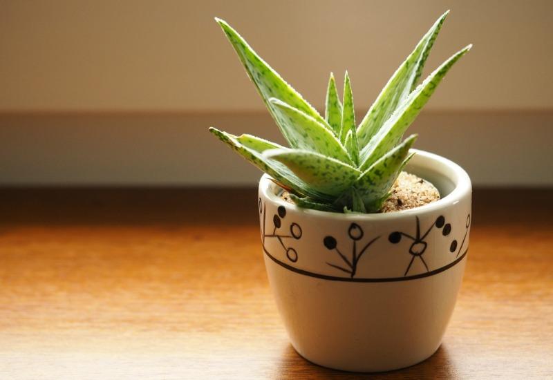 Aloe Vera plant in a small pot