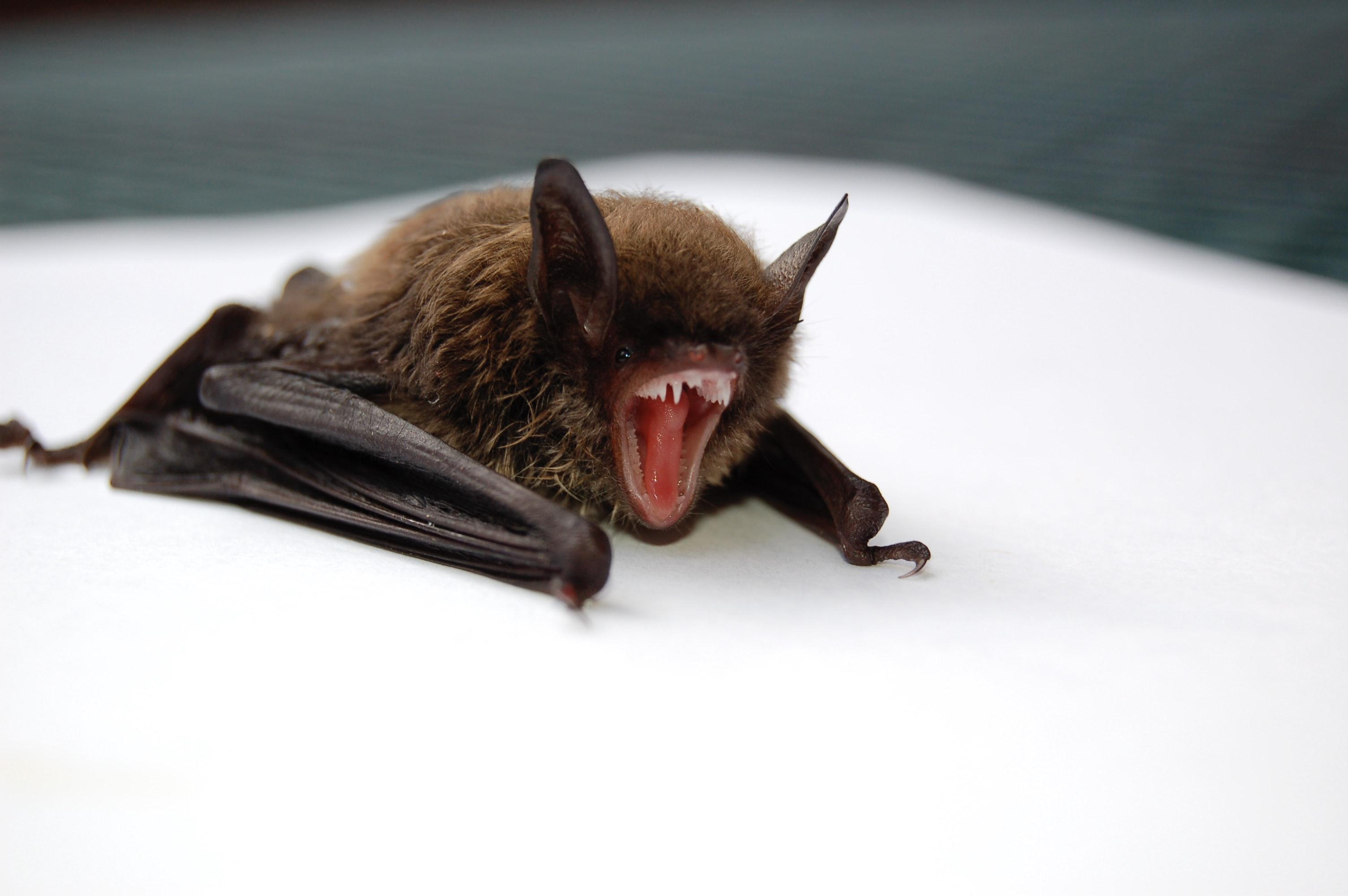 bat yawning
