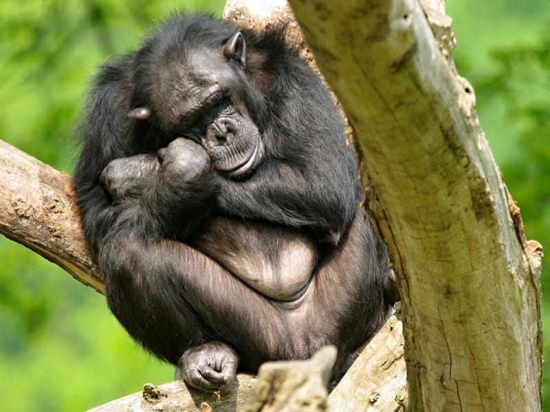 Chimpanzees can be very selective about where they sleep