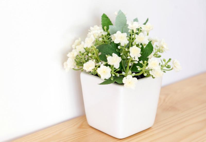 Jasmine plant in white pot