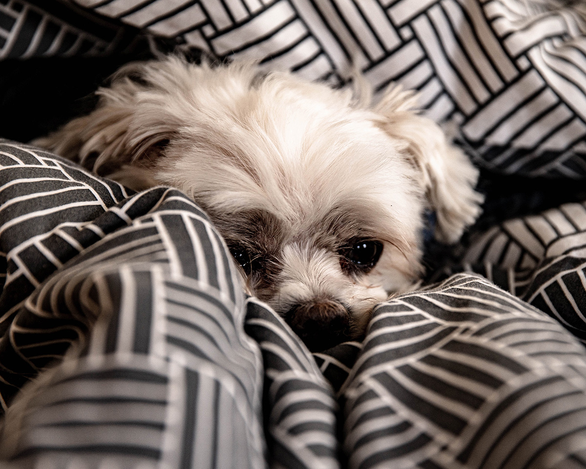 dog burrowing into duvet as its sleeping position
