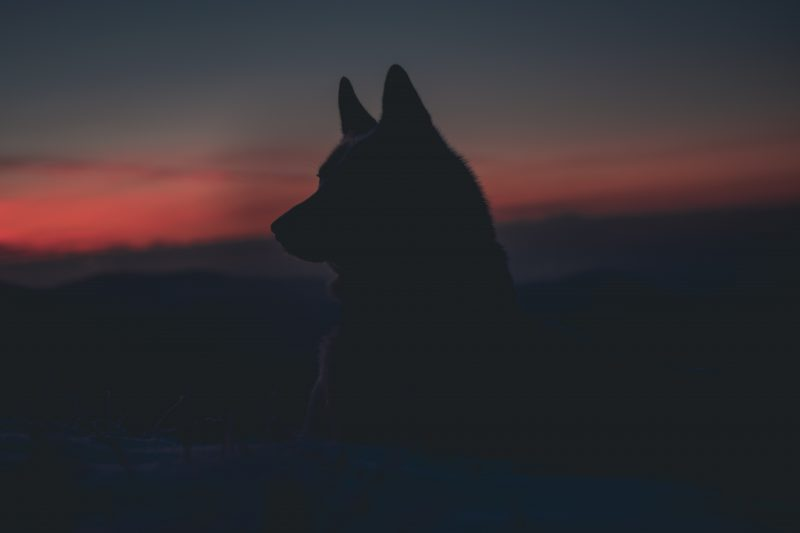 Wolf image to show wolf chronotype