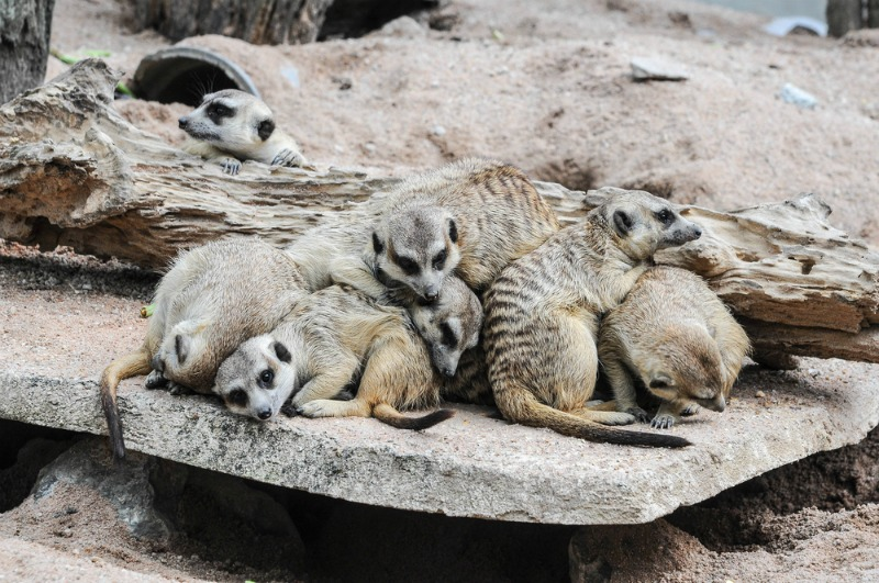 Meerkats sleep in a heap with the matriarch in the middle