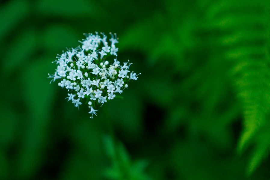 image of valerian flower for sleep