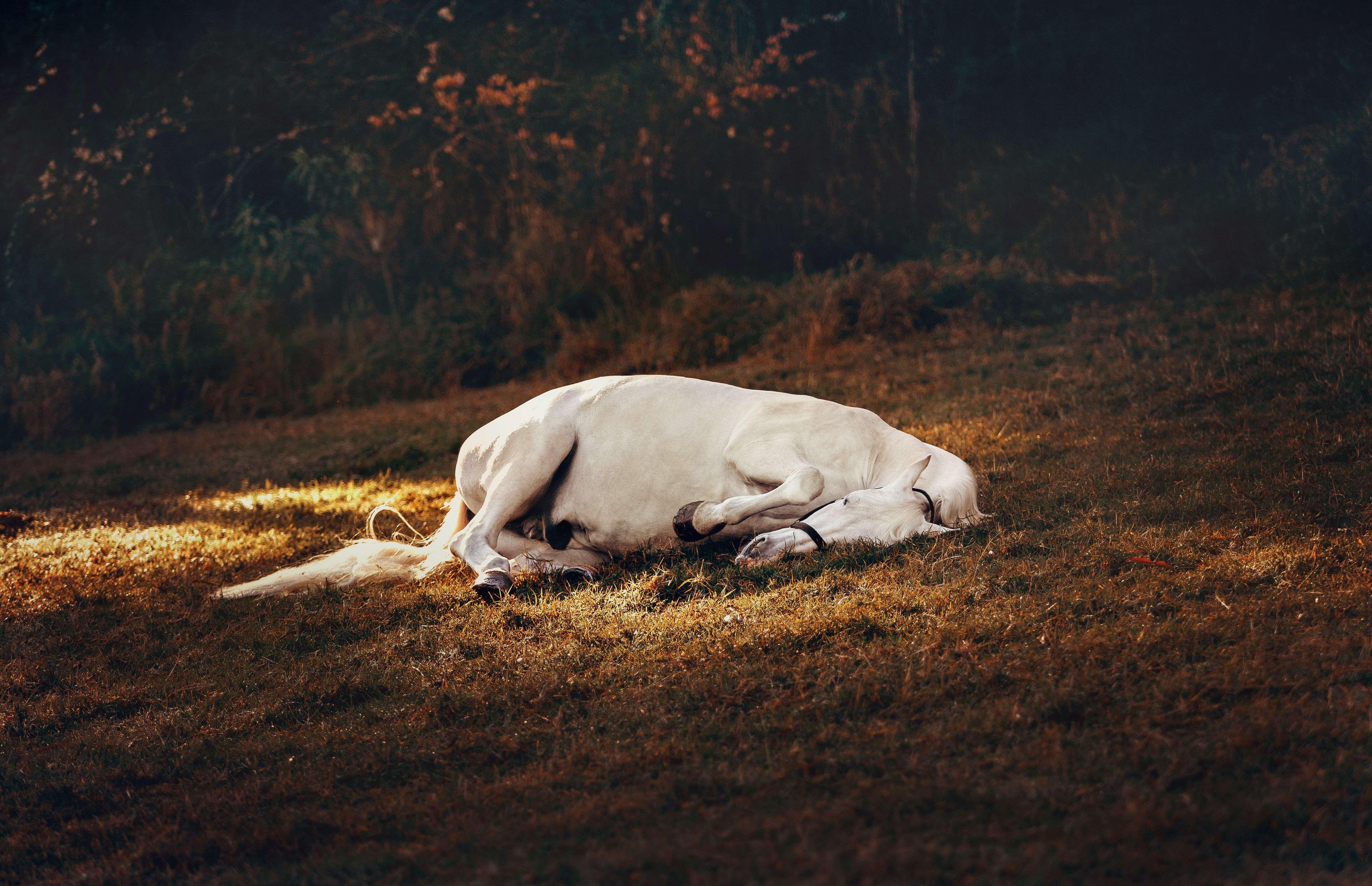 white horse sleeping