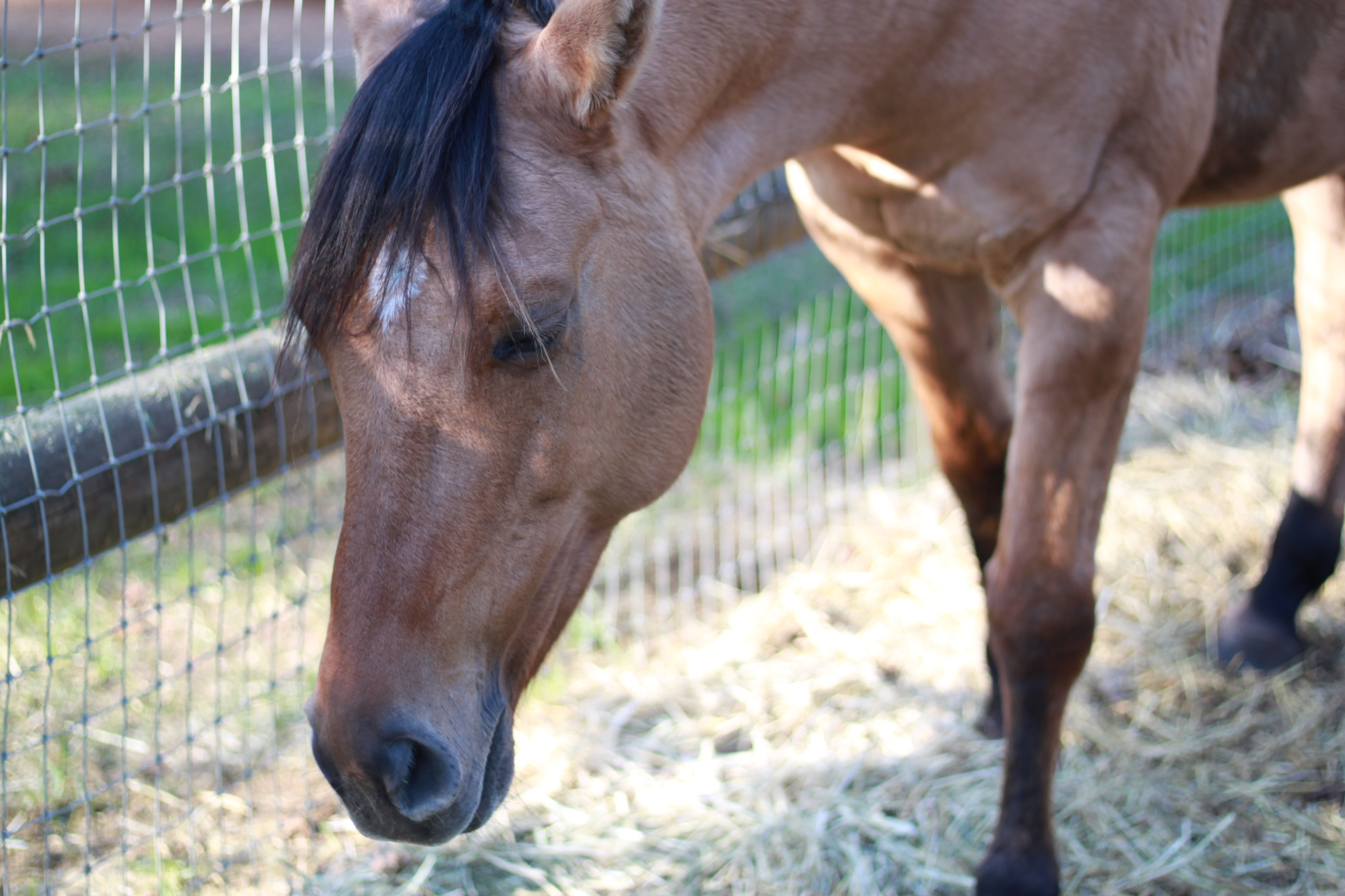 horse with head down and eyes shut
