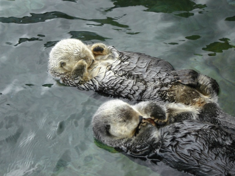 Some otters sleep in water, anchoring themselves to something to stop floating away